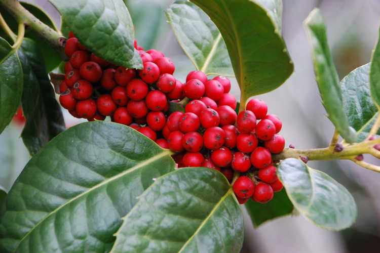 Ilex 'Venus' (evergreen holly)