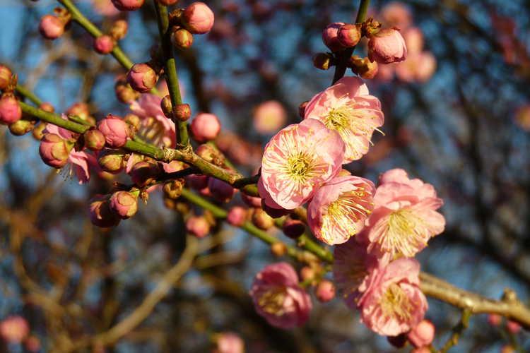 Prunus mume 'Bonita' (pink Japanese flowering apricot)