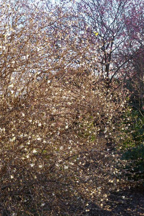 Lonicera ×purpusii 'Winter Beauty' (winter honeysuckle)