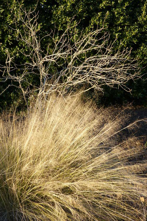 Hibiscus syriacus 'Helene' (rose-of-Sharon) and Muhlenbergia capillaris (hairy-awn muhly grass)