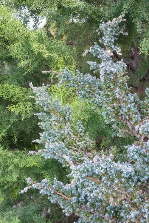 Cupressus arizonica 'Limelight' (yellow Arizona cypress) and Juniperus squamata 'Meyeri' (flaky juniper)