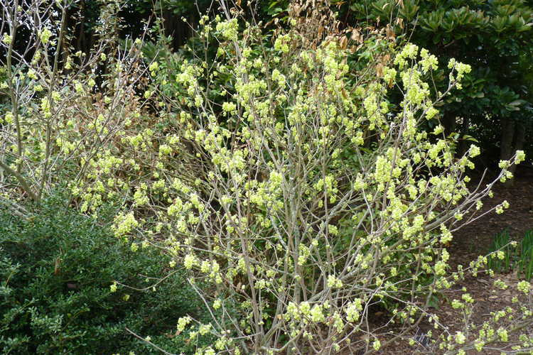 Corylopsis sinensis var. calvescens f. veitchiana (Veitch's winterhazel)