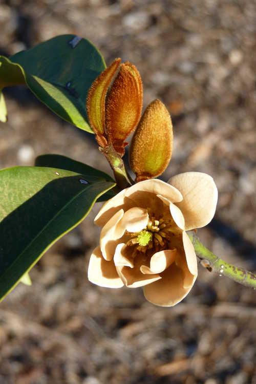 Magnolia ×foggii 'Allspice' (hybrid magnolia)