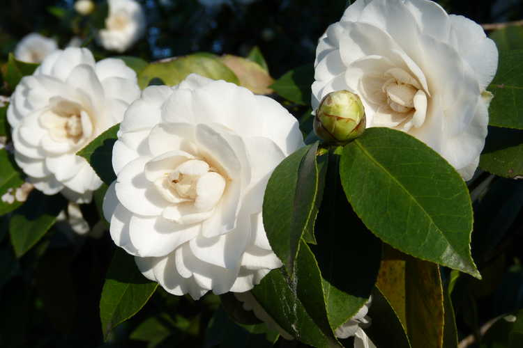 Camellia japonica 'White Perfection' (Japanese camellia)