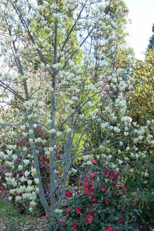 Magnolia 'Yellow Lantern' (yellow magnolia)
