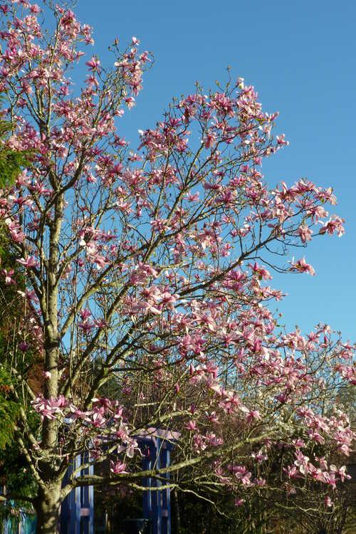 Magnolia 'Galaxy' (U.S. National Arboretum hybrid magnolia)