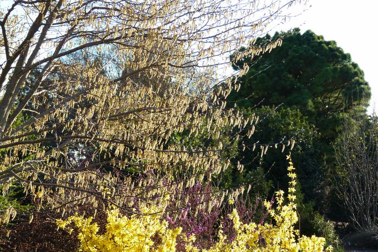 Carpinus turczaninowii (Tatarian hornbeam) and Forsythia giraldiana 'Golden Times' (gold-margined early forsythia)