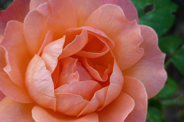Rosa ('Harflow' sport)