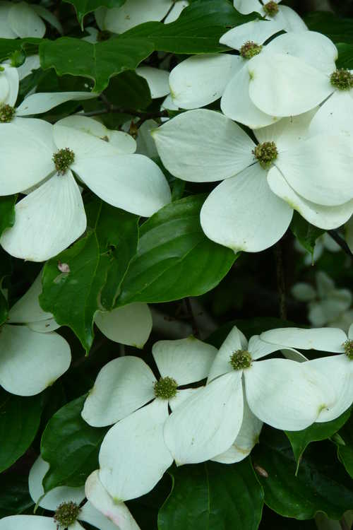 Cornus 'Rutcan' (Constellation™ Rutgers hybrid dogwood)