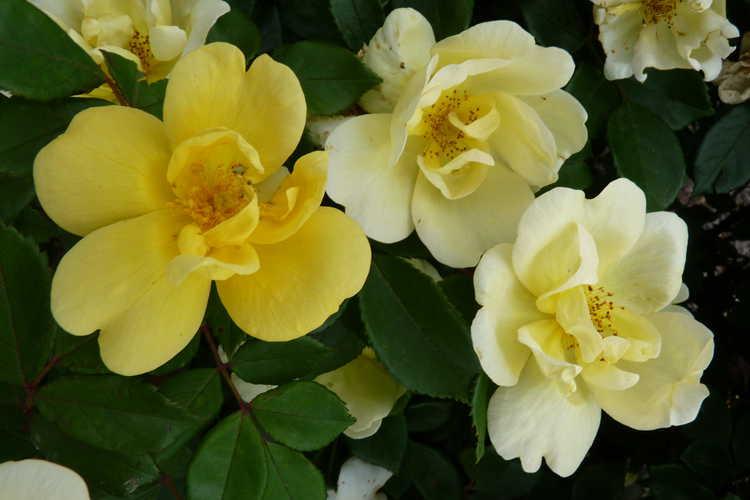 Rosa 'Radsunny' (Sunny Knock Out shrub rose)