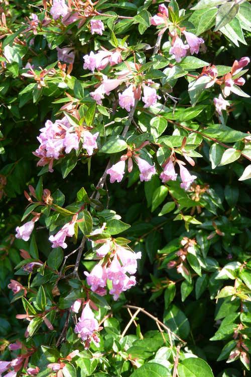 Abelia parvifolia (Schumann abelia)