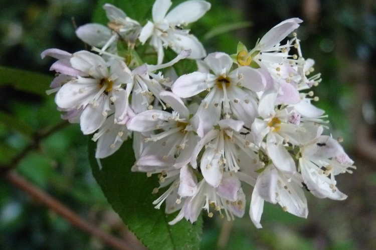 Deutzia ×hybrida 'Tourbillon Rouge' (pink deutzia)