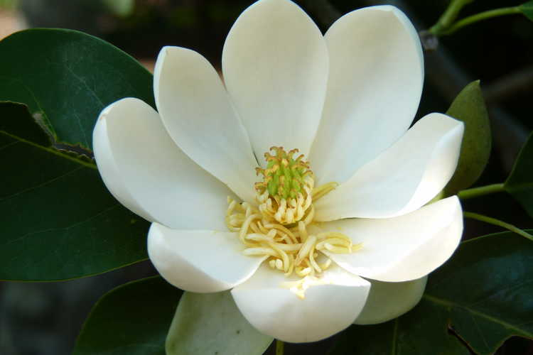 Magnolia virginiana var. australis 'Henry Hicks' (evergreen sweet bay magnolia)