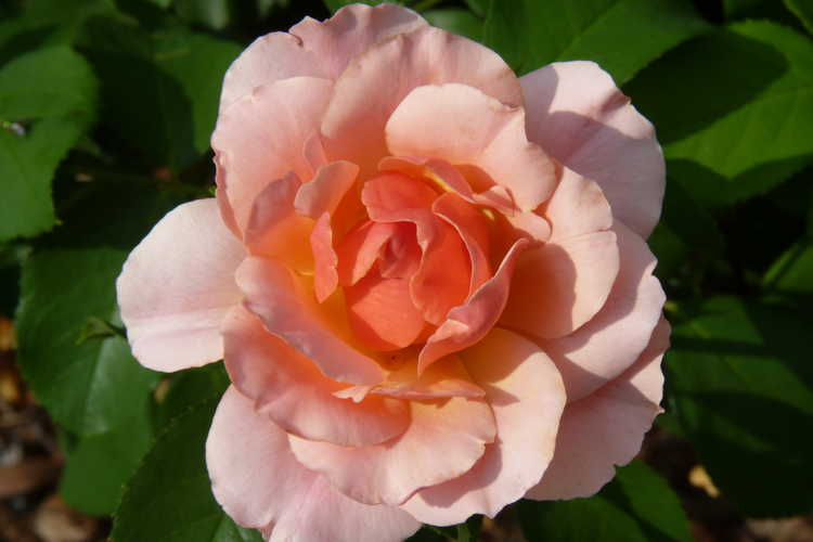 Rosa 'Meikokan' (Tequila Supreme floribunda rose)
