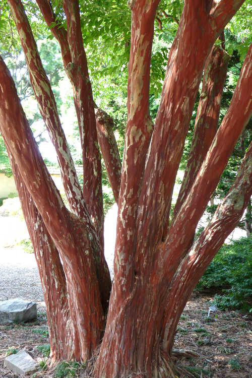 Lagerstroemia fauriei (Japanese crepe myrtle)