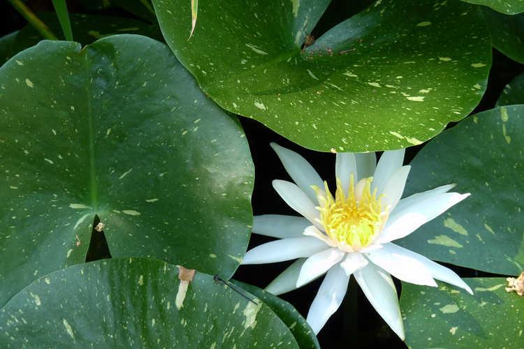 Nymphaea 'Arc-en-Ciel' (variegated water-lily)