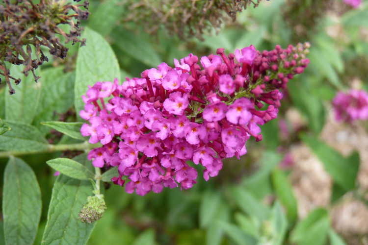 Buddleja 'Miss Molly' (butterfly-bush)