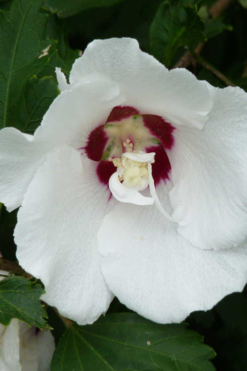 Hibiscus syriacus 'Morning Star' (rose-of-Sharon)