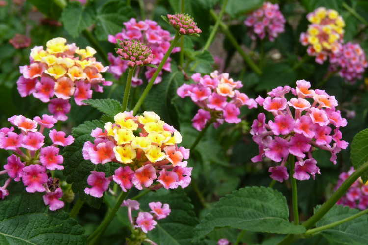 Lantana 'Sunset Beach' (lantana)