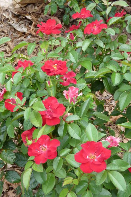 Rosa 'Sprothrive' (Thrive shrub rose)