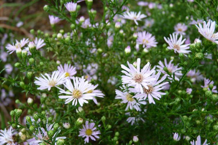 Symphyotrichum ericoides 'Pink Star' (pink heath aster)
