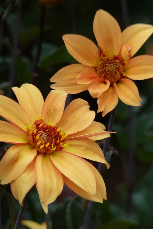 Dahlia 'Bishop of York' (garden dahlia)