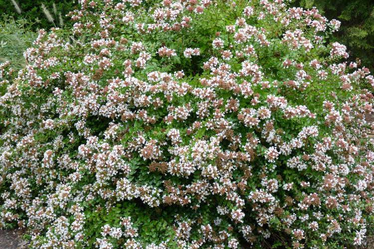 Abelia ×grandiflora 'Rose Creek' (glossy abelia)