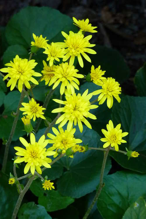 Farfugium japonicum 'Jitsuko's Star' (double-flowered leopard plant)