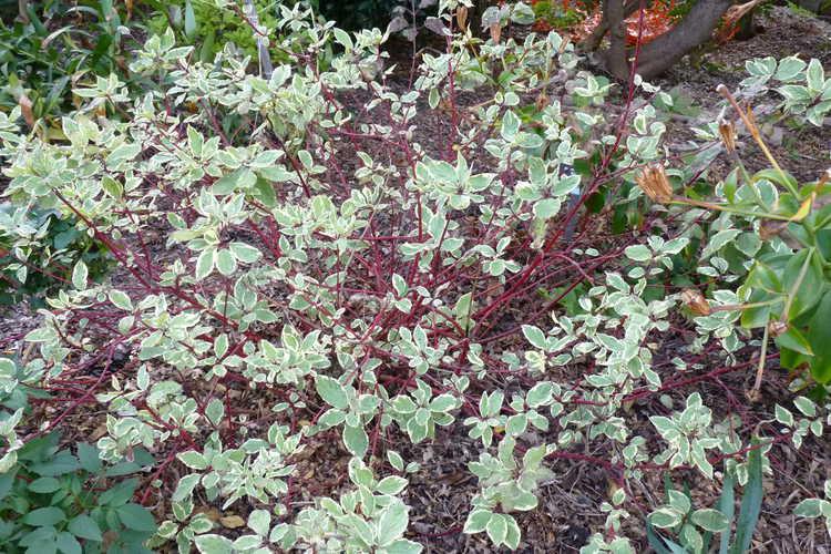 Cornus alba 'Cream Cracker' (variegated redosier dogwood)