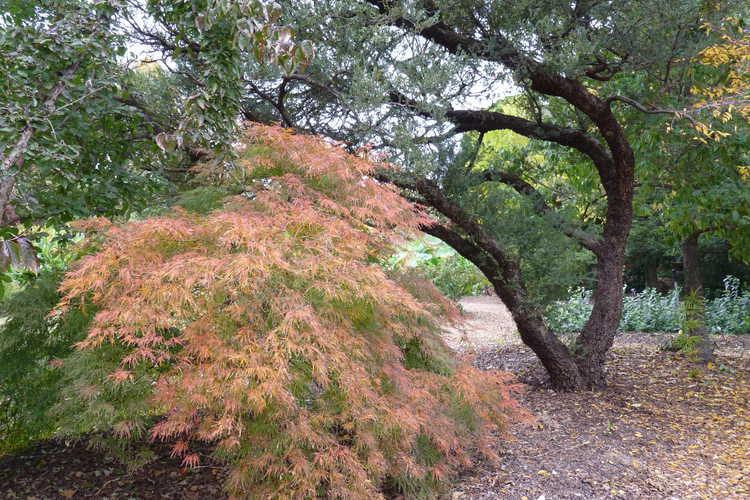 Acer palmatum Dissectum Viride Group (green lace-leaf Japanese maple)