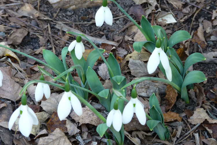 Galanthus elwesii var. monostictus (one-spotted giant snowdrop)