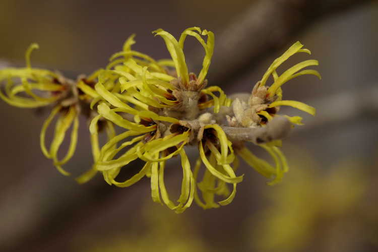Hamamelis ×intermedia 'Aurora' (common witchhazel)