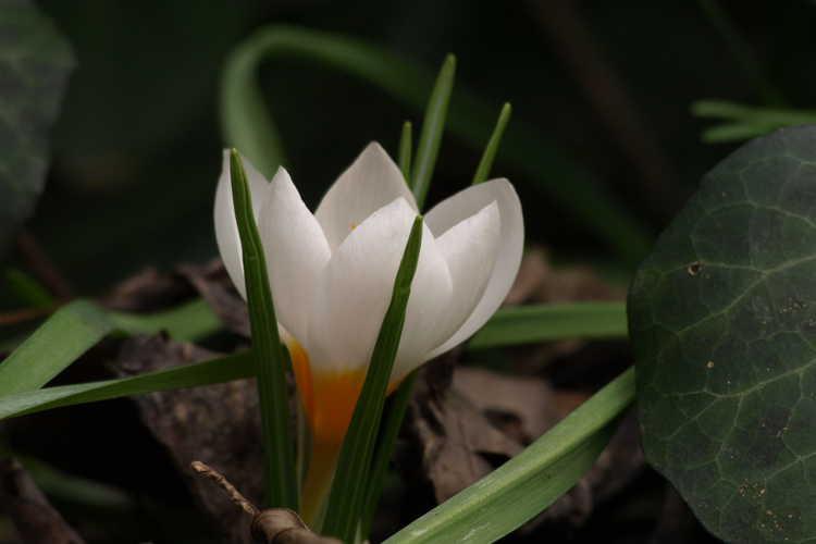 Crocus (spring crocus)