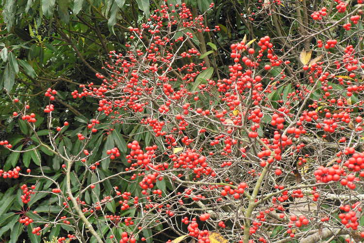 Daphniphyllum macropodum (courtesy-leaf) and Ilex verticillata 'Winter Red' (winterberry holly)