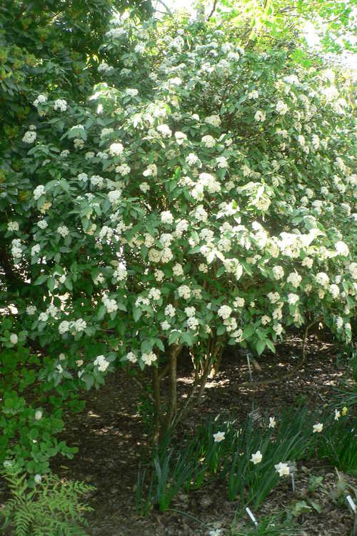 Viburnum 'Chesapeake' (Egolf hybrid viburnum)