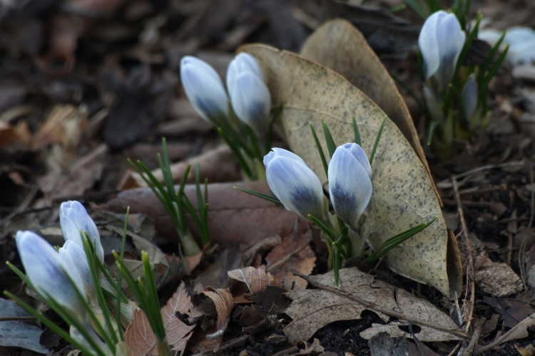 Crocus chrysanthus 'Blue Pearl' (spring crocus)