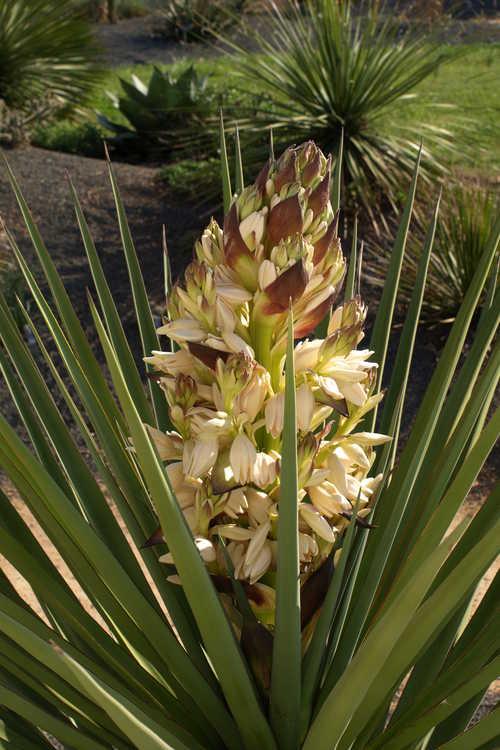 Yucca torreyi (Torrey yucca)