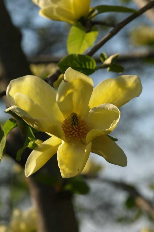 Magnolia 'Lois' (Brooklyn Botanic Garden hybrid magnolia)