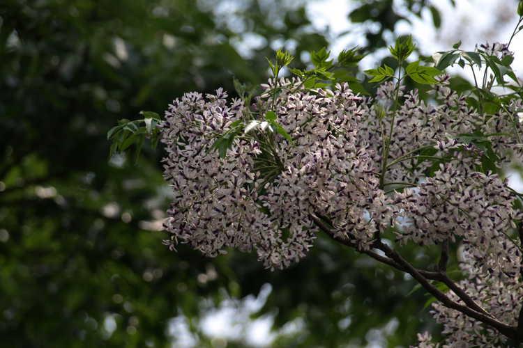 Melia azedarach (Chinaberry)