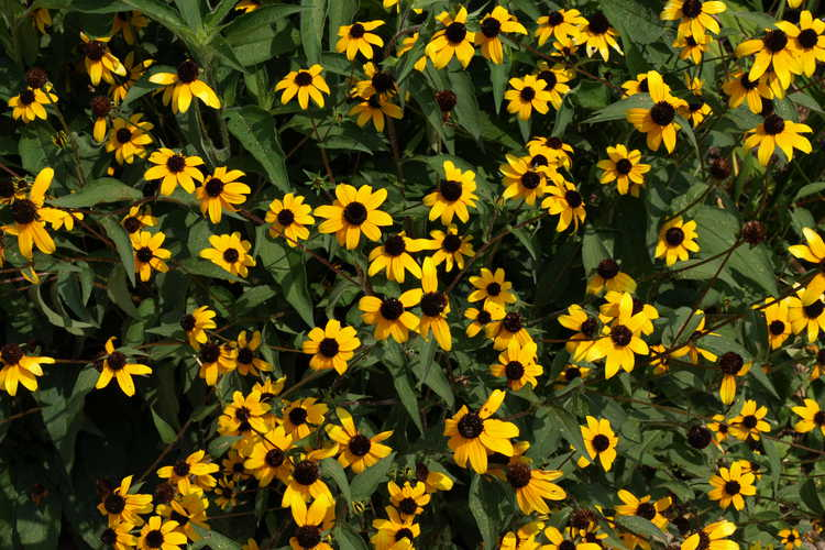 Rudbeckia triloba (three-lobed coneflower)