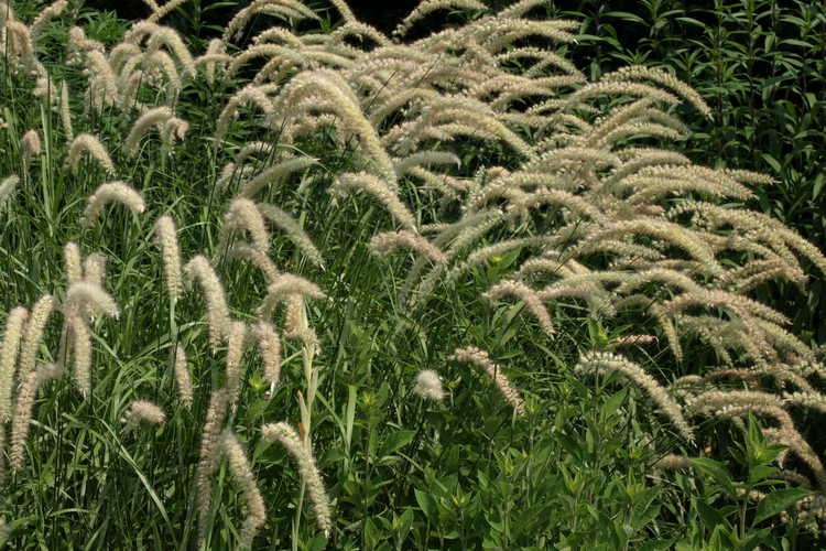 Pennisetum orientale 'Tall Tails' (giant fountain grass)