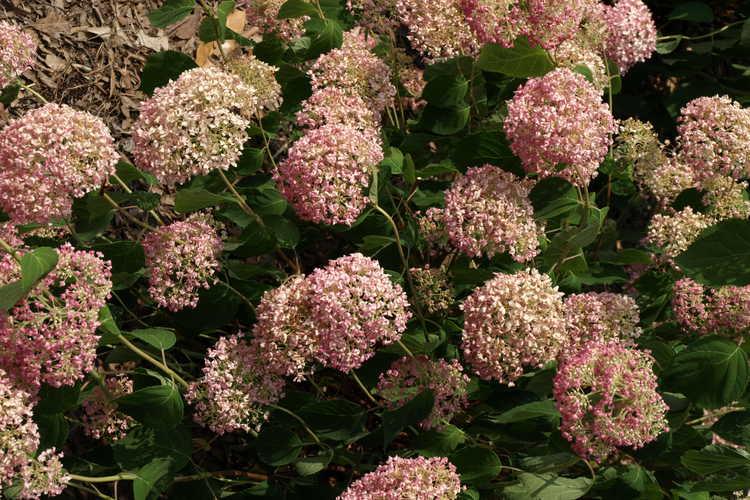 Hydrangea arborescens 'Ncha1' (Invincibelle™ Spirit smooth hydrangea)