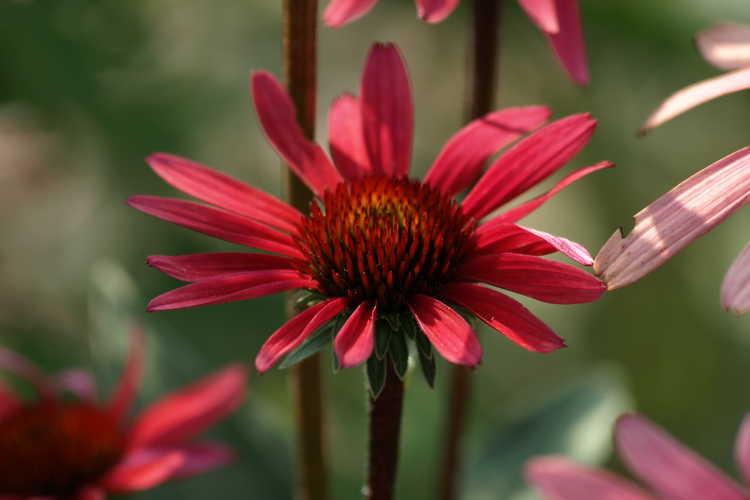 Echinacea 'Solar Flare' (Big Sky coneflower)