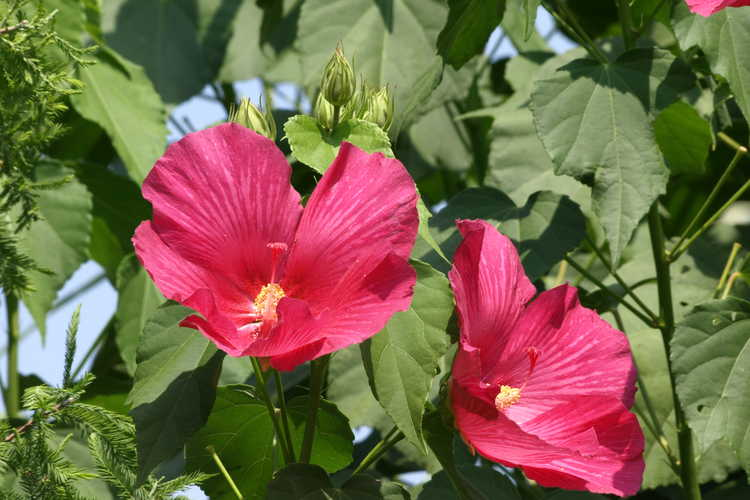 Hibiscus paramutabilis (everblooming Confederate rose)