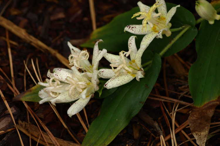 Tricyrtis 'Amanagowa' (hybrid toad lily)