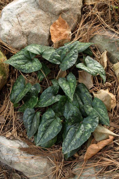 Asarum kumageanum (Japanese wild ginger)