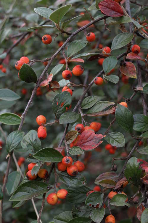 Cotoneaster franchetii (Franchet's cotoneaster)