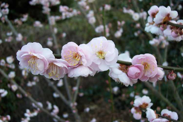 Prunus mume 'Nicholas' (Japanese flowering apricot)