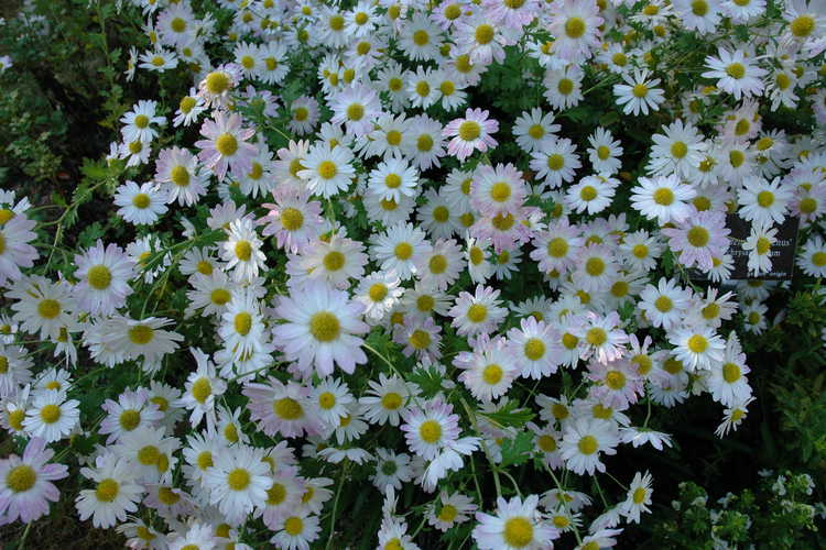 Chrysanthemum 'Venus' (garden chrysanthemum)