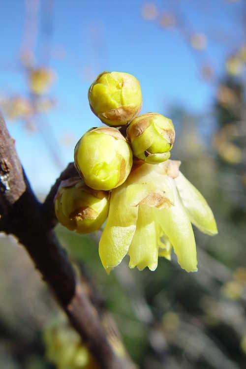 Chimonanthus praecox (fragrant wintersweet)